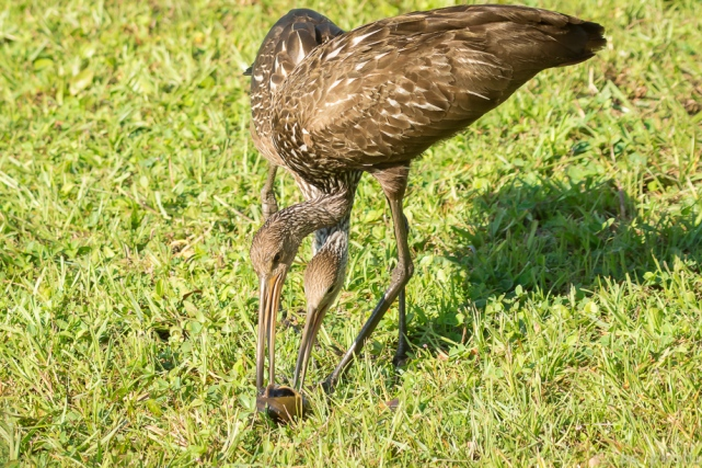 limpkin chick 6wks being fed 2-7478