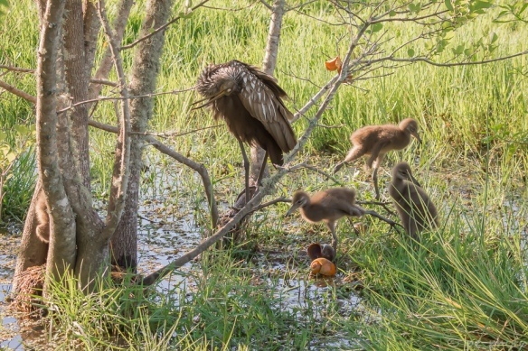 "limpkin chicks 2wks after 5"" rain pin feathers beginning to show-5089"