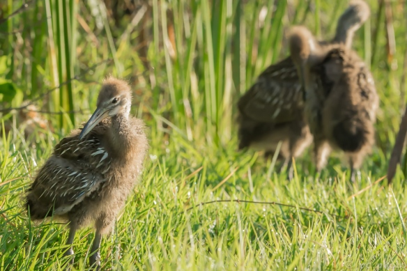 limpkin chicks 3wks pin feathers 3 amigos-6145