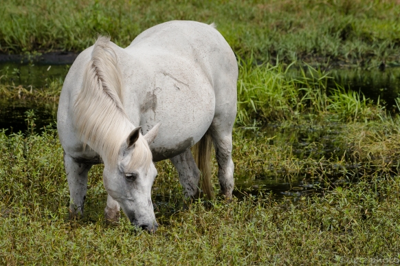 horse in water
