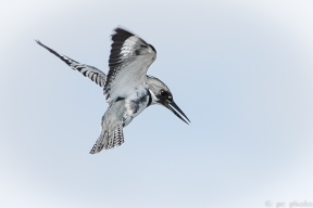 13-kingfisher-hovering-2%ef%bc%8a%ef%bc%8a%ef%bc%8a-3138