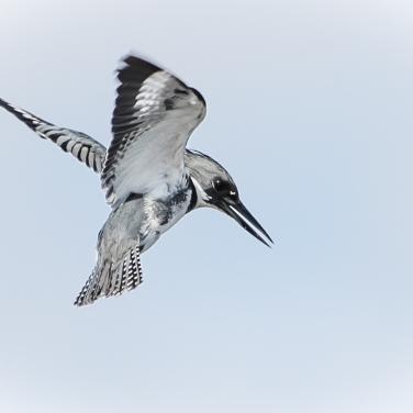 13-kingfisher-hovering-2%ef%bc%8a%ef%bc%8a%ef%bc%8a-3138