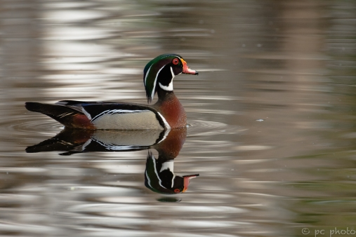 15-male-wood-duck-early-light-9332-copy