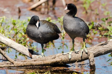 16-pair-of-coots-feet-1394-2