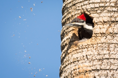 17-pileated-woodpecker-spewing-wood-chips-3%ef%bc%8a%ef%bc%8a%ef%bc%8afemale-in-nest-8409