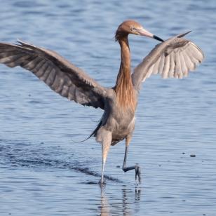 18-reddish-egret-high-stepping%ef%bc%8a%ef%bc%8a-merritt-isl-7180
