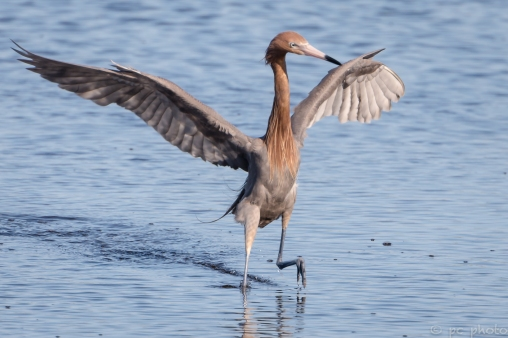 18-reddish-egret-high-stepping%ef%bc%8a%ef%bc%8a-merritt-isl-7180