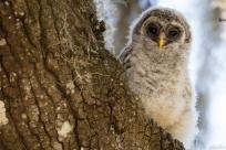 2-barred-owlet-debut%ef%bc%8a%ef%bc%8a%ef%bc%8a%ef%bc%8a%ef%bc%8a3-8293
