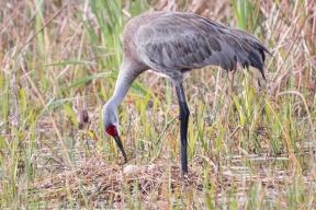 20-sandhill-crane-rolling-eggs-2-7790