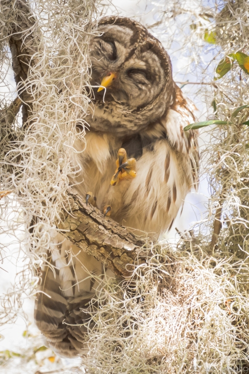 21-sleepy-parent-barred-owl%ef%bc%8a%ef%bc%8a-8587