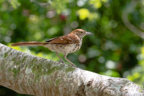 3-brown-thrasher-6610