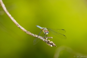 4-dragonfly-perched-9977