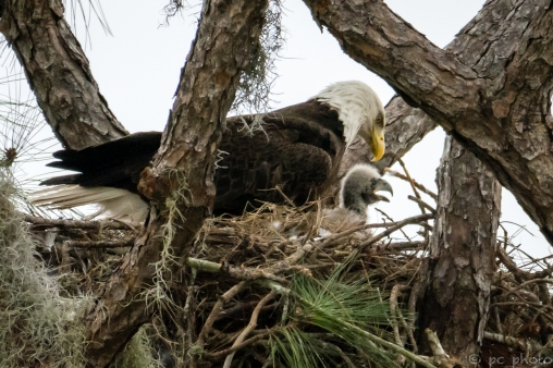 5-eaglet-and-mom-po236-6744