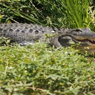 8-gator-greetings-from-florida-3698
