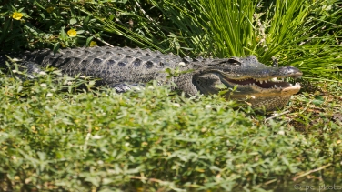8-gator-greetings-from-florida-3698