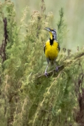 10-meadowlark-singing%ef%bc%8f-sweltering-heat-1207