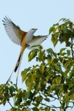 11-scissortail-flycatcher-8686