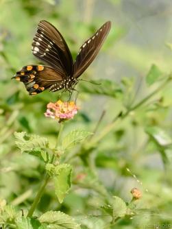 2-butterfly