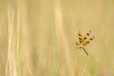 3-dragonfly-halloween-pennant-3852