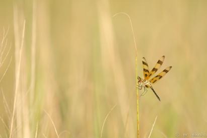 3-dragonfly-halloween-pennant-3852