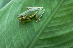 9-green-tree-frog-4101