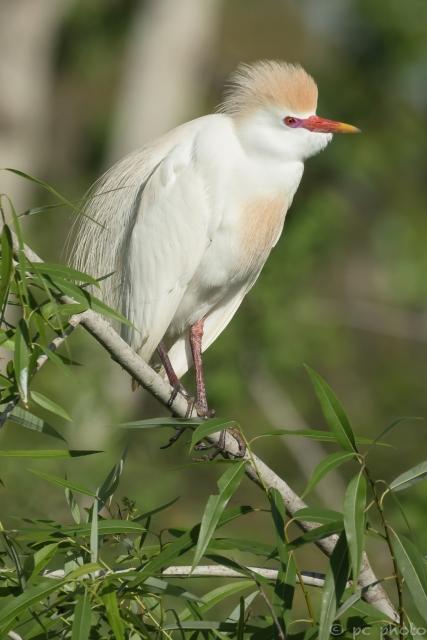 ****CATTLE egret breeding plummage head feathers up*-2640