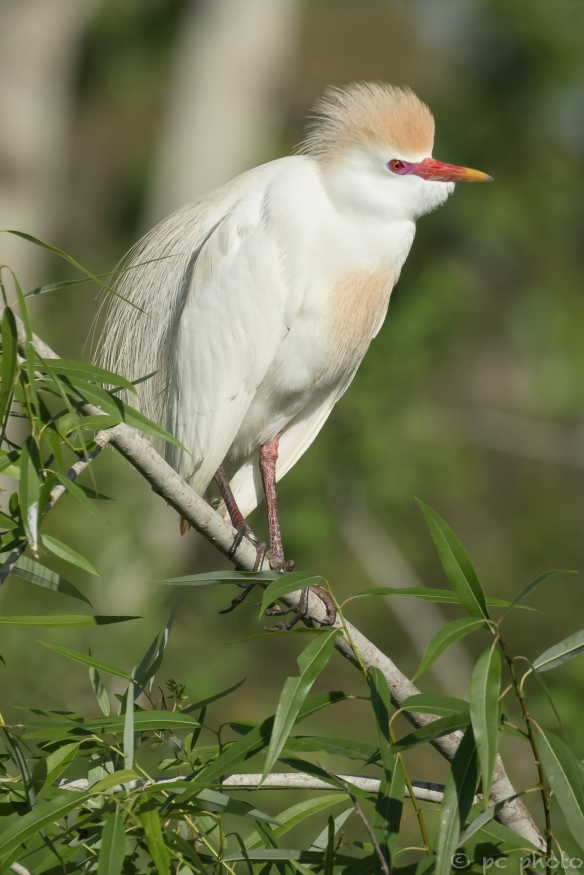 ****CATTLE egret breeding plummage head feathers up*-2640