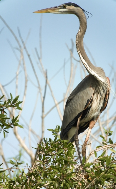 ****gbh WITH BREEDING FEATHERS /phonescope-9602