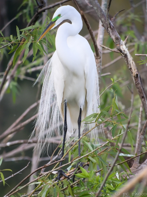 ****GREAT EGRET BREEDING FEATHERS/ GREEN LORE/ PHONESCOPE-9654