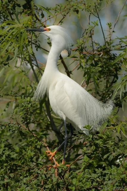 ****SNOWY EGRET WITH BREEDING FEATHERS AND COLORS-2274