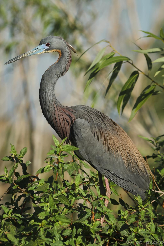 ****tri color heron breeding eye 2-2557