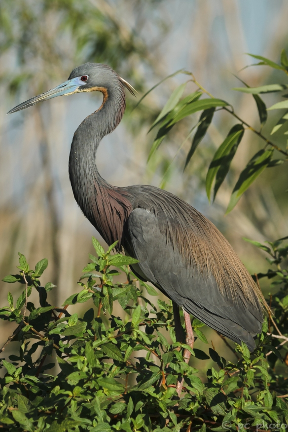 ****tri color heron breeding eye 2-2557