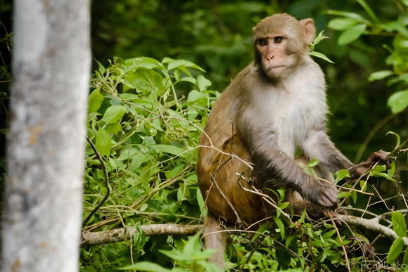 2 Rhesus Monkey portrait horizontal -6460