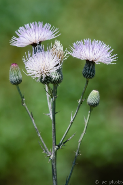 4 thistle blooms-5517