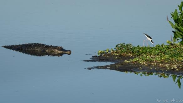 1 gator & stilt--2.jpg