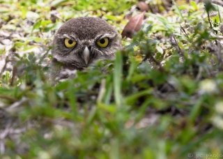 Burrowing owl curious and shy