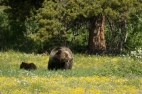 7 grizzly mom and cub environmental before sunset-9504