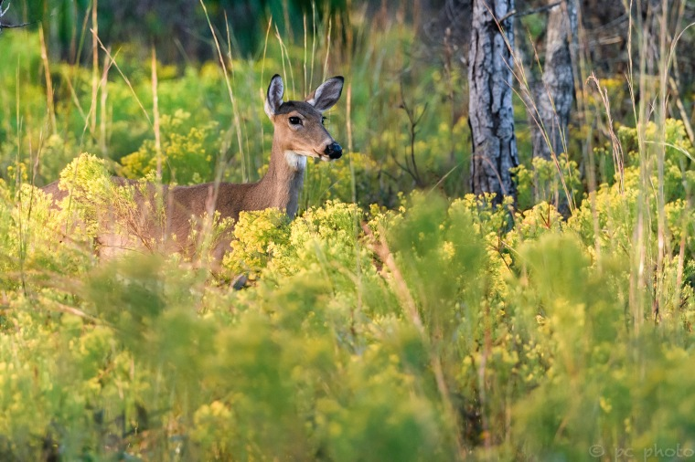 Doe in yellow flowers