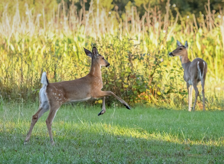 Fawn plays mom keeps watch