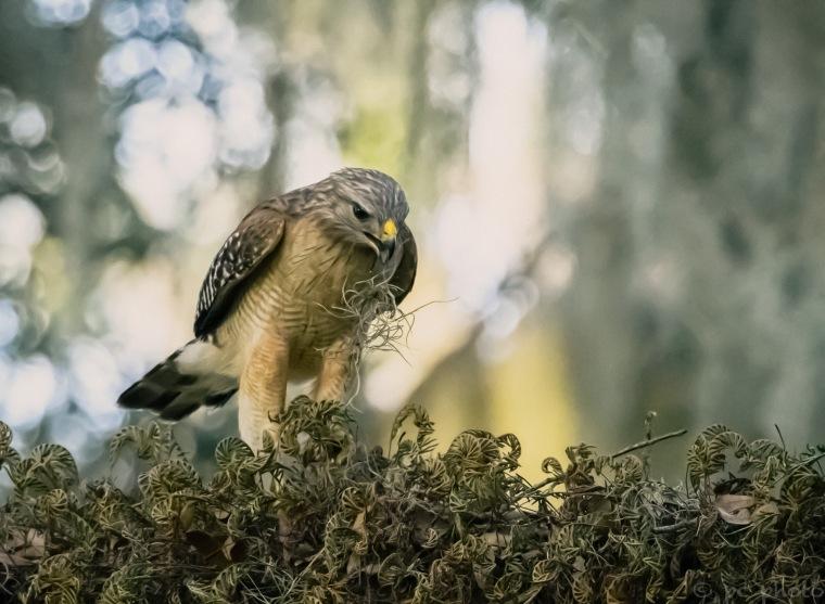 Red shoulder hawk in the hammock