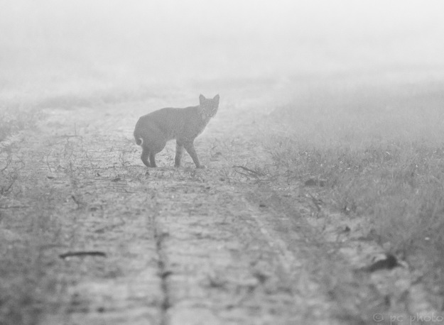 Bobcat in fog before sunrise